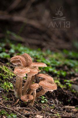 podpňovka smreková/Armillaria ostoyae