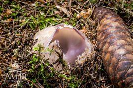 tulipánovka fialová/Sarcosphaera coronaria (chránená huba)