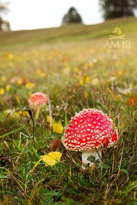 muchotrávka červená/Amanita muscaria