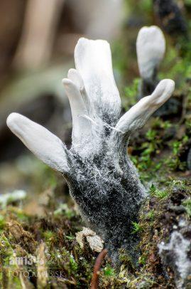 drevnatec parohatý/Xylaria hypoxylon