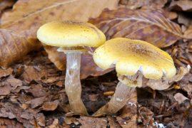 podpňovka obyčajná/Armillaria mellea