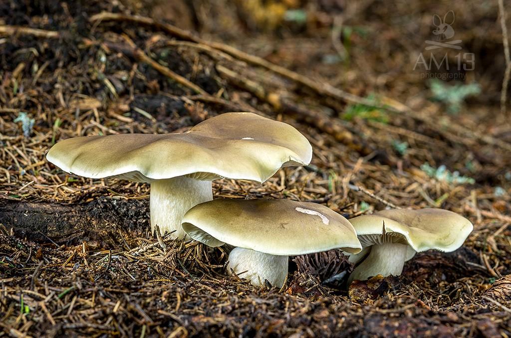 čírovka mydlová/Tricholoma saponaceum var. saponaceum