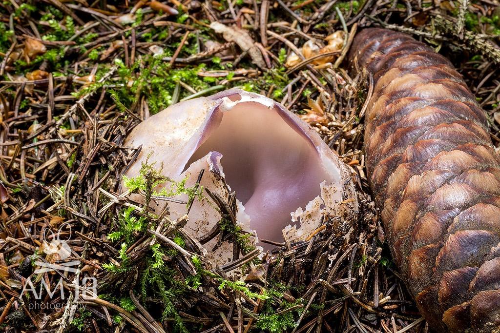 tulipánovka fialová/Sarcosphaera coronaria