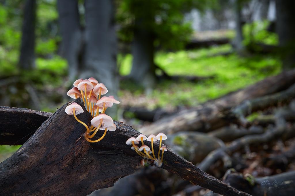 prilbička žltohlúbiková/ Mycena renati