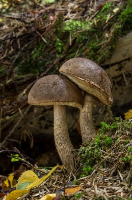 kozák brezový/Leccinum scabrum