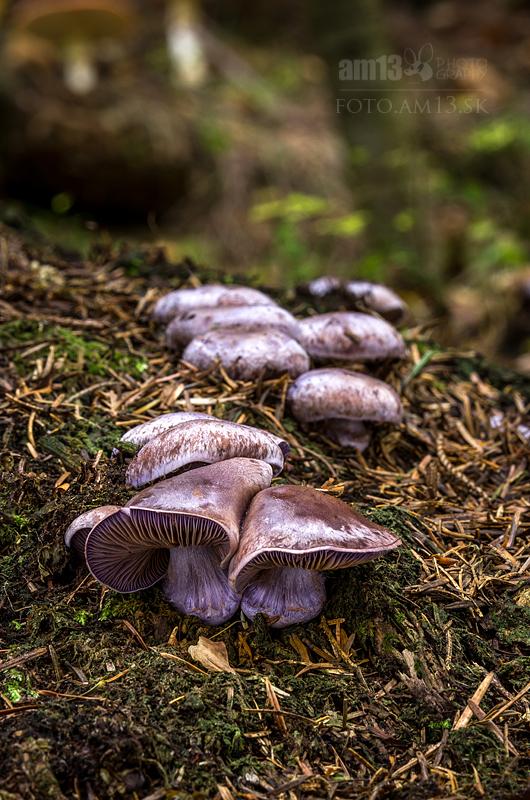pavučinovec/Cortinarius sp.