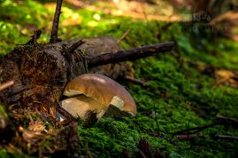 hríb smrekový/Boletus edulis