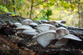 hliva ustricovitá/Pleurotus ostreatus