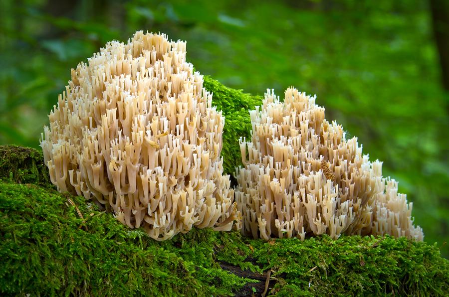 korunovec svietnikovitý/Artomyces pyxidatus