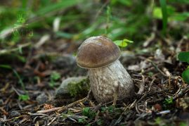kozák hrabový/Leccinum pseudoscabrum