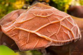 uchovec bazový Auricularia auricula-judae