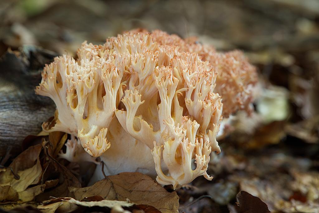 strapačka koralovitá Ramaria botrytis