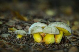 hríb striebristý Butyriboletus fechtneri