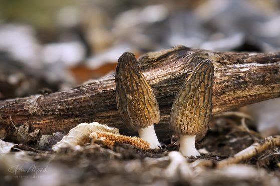 smrčok kužeľovitý/Morchella conica