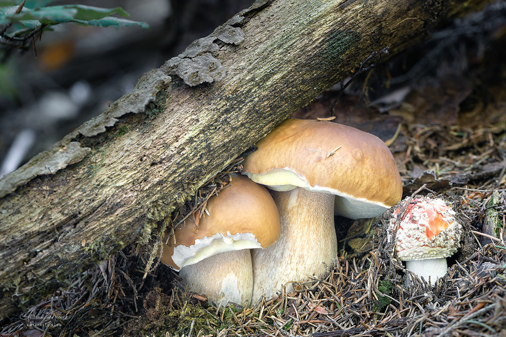Boletus eduli and Amanita muscaria